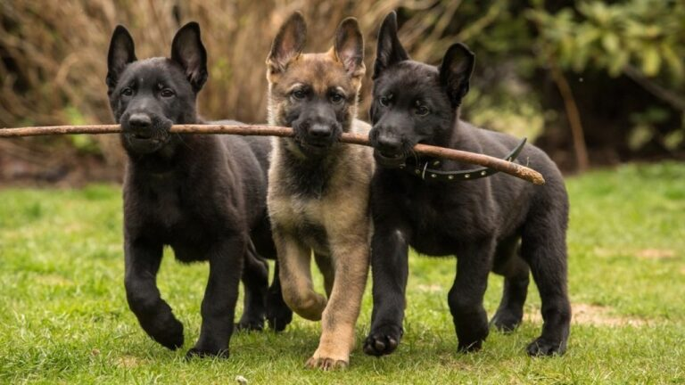 WHERE TO GET YOUR GERMAN SHEPHERD