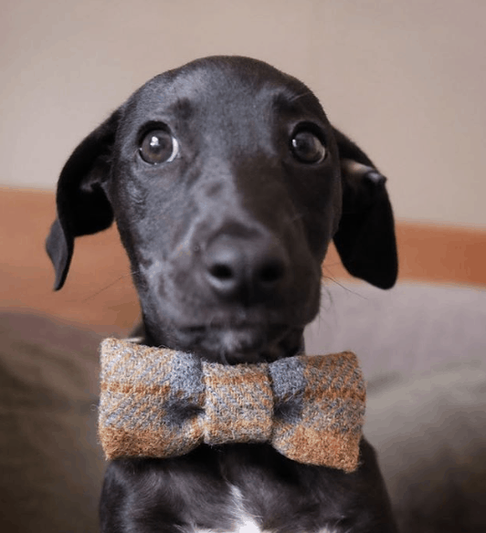 Chede Bow Tie Dog Collar